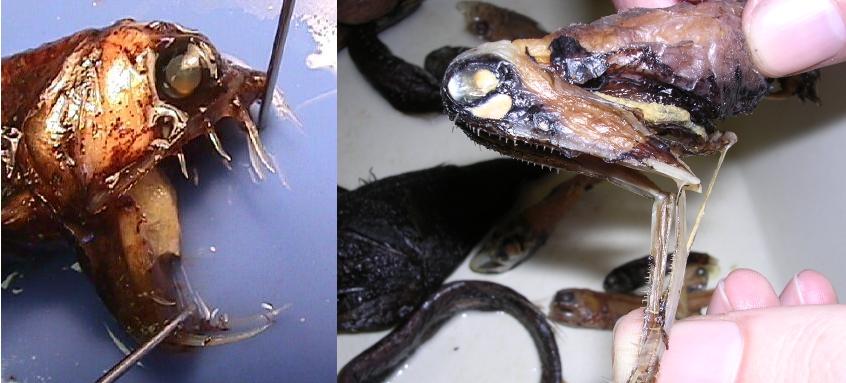 恐佈深海生物[附圖]